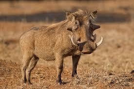 warthog-pic